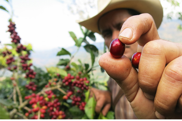 ICO August: Supply surplus weighs on global coffee prices